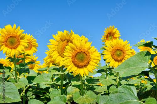 In de dag Zonnebloem Yellow sunflowers grow in the field. Agricultural crops.