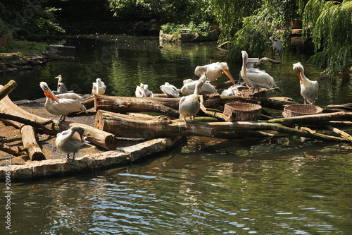 Photo  Pelicans in Berlin Zoological Garden. Germany