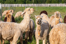 Happy Herd Of Alpacas In The P...