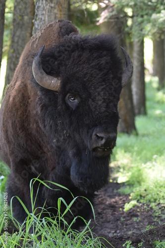 Fotobehang Bison Bison in Montana