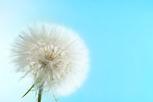 Dandelion Seed Head With Dew Drops On Color Background