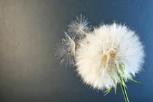White Dandelion Seed Head On C...