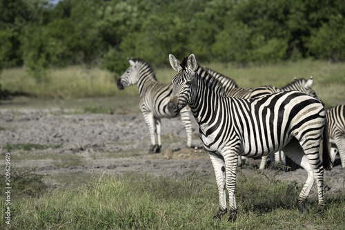 Small Herd of Zebra on the Savanah in Botswana Poster