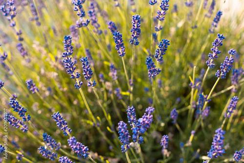 Spoed Foto op Canvas Lavendel Lavande en gros plan au printemps
