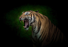 Young Indochinese Tigers Are Roaring.