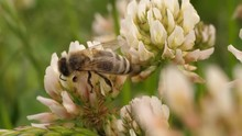 Macro Shot Of Honey Bee On Clo...
