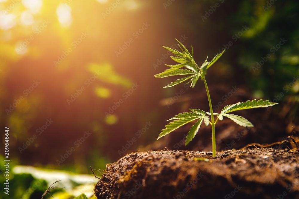 Fototapety, obrazy: Bush marijuana cannabis on blurred background at sunset.