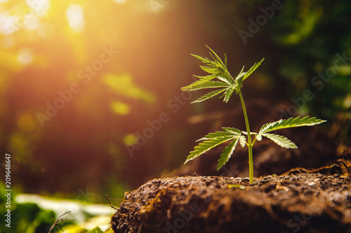 Bush marijuana cannabis on blurred background at sunset. Wallpaper Mural