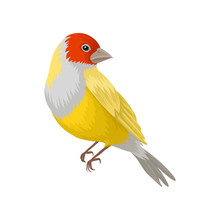 Detailed Vector Portrait Of Yellow Lady Gouldian Finch With Red Head And White Breast. Exotic Bird With Colorful Feathers
