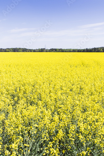 Fotobehang Zwavel geel Rapeseed field with blue sky
