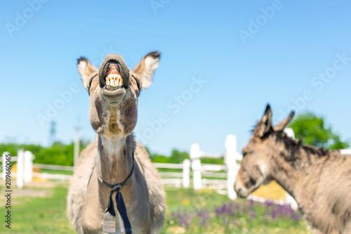 Stampa su Tela Funny laughing donkey