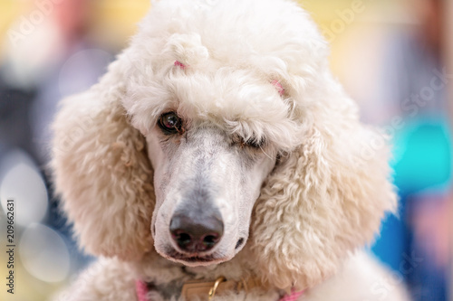 Fotografie, Obraz  Standard White Poodle At Country Dog Show