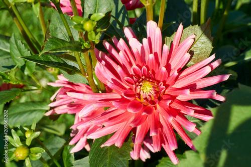 Staande foto Dahlia Dahlie im Blumengarten