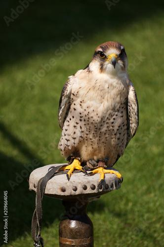 A Kestrel Sits Upon Perch