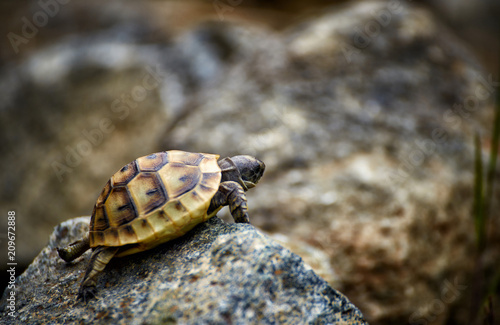 The tortoise creeps in the wild on the rocks in the summer. Poster