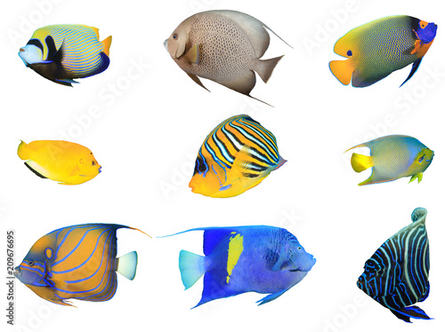 Fotobehang Koraalriffen Angelfish fish species collection isolated on white background