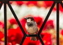 Bird Sparrow On A Background Of Flowers