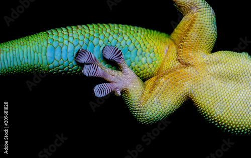 multicolored lizard on a black background