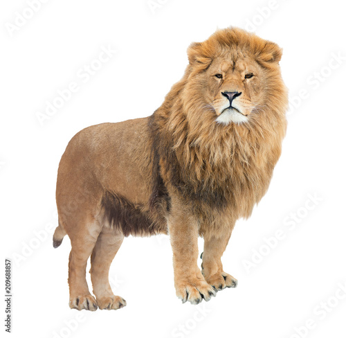 Fotobehang Leeuw Adult, mighty lion pride leader. Isolated.