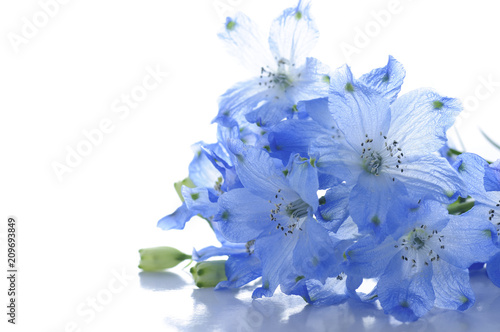 Fotografiet flowers of delphinium on a white background
