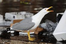 Seagull At Fish Market In Venice