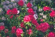 Spring natural background. Beautiful blooming rhododendrons in the park.