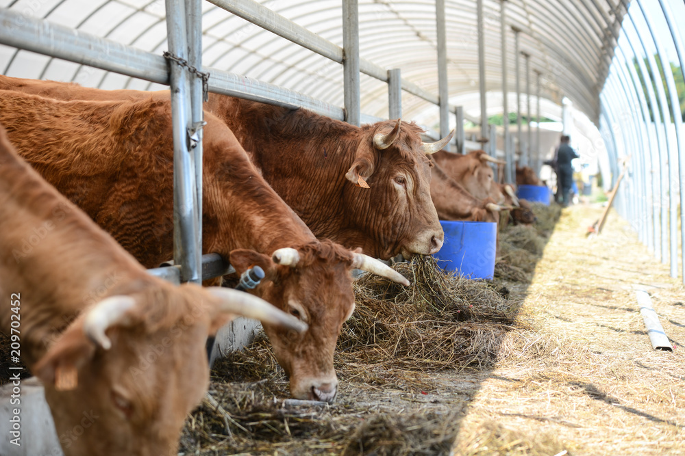 Fototapeta cow and brown cattle herd in small breeding husbandry livestock farming production industry ranch