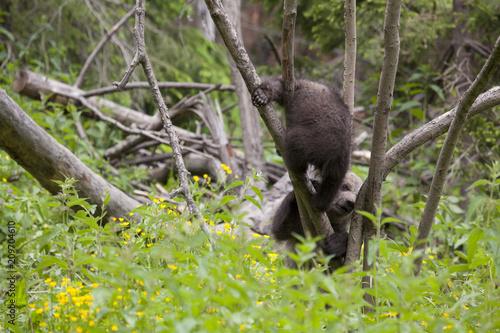 Fotografia, Obraz  playfull bears in tree