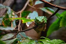 Giant Leaf Green Frog