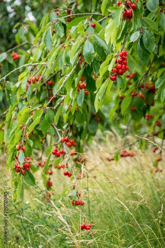 Kirschbaum mit Kirschen bis zum Boden