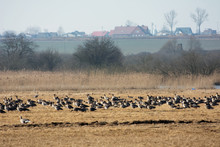 Flock Of Greylag Geese Resting On Polish Fields On Their Way North In Spring - Leafless Trees And Farmhouses  In The Background