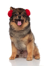 Lovely Pom Dog With Red Earmuf...