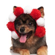 Curious Pomeranian Wearing Flu...