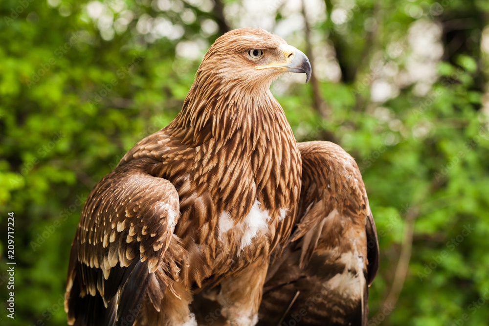 Ggolden eagle, bird of prey