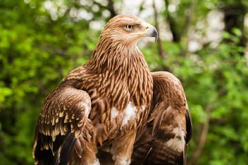 Ggolden eagle, bird of prey