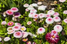 Pink Bellis Perennis A Common Pompom Type Daisy Herbaceous Perennial Hardy Garden Flower Plant