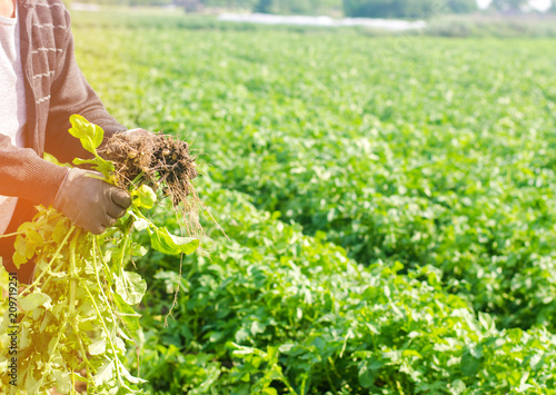 Stampe  farmer holds in his hands a bush of young yellow potatoes, harvesting, seasonal