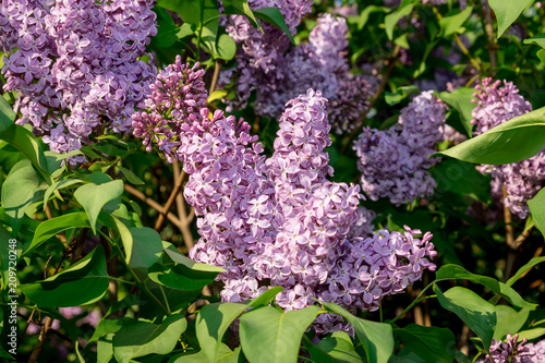 Foto op Canvas Lilac purple blooming lilac