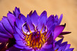 canvas print picture - Gold wedding rings on Beautiful purple lotus flowers (NO FOCUS)  on background of sand. Close-up. A symbol of Buddha, a wedding, a bond of marriage..