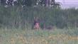 Roe buck lie on the meadow, spring, (capreolus capreolus)