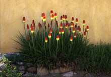 Red Hot Pokers Against An Adobe Wall, Santa  Fe,  New Mexico