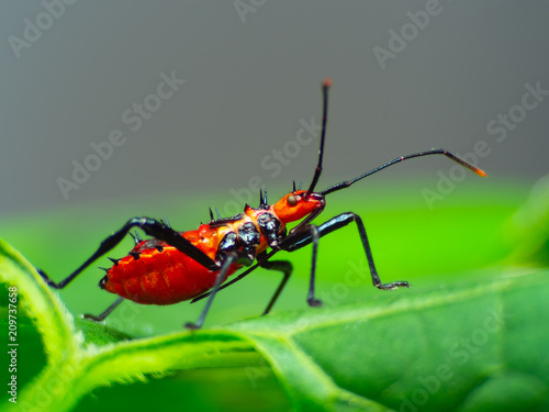 Photo  Assassin bug with natural  background Macro(Sycanus collaris)
