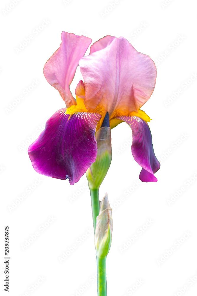 Fototapeta Stem a single deep purple flower of bearded iris (Iris germanica)  isolated against a white background