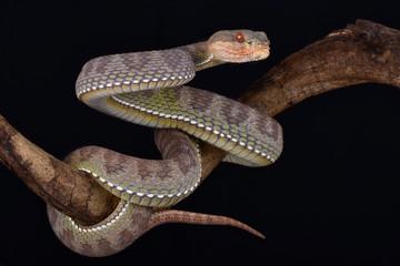 Mangrove pit viper (Trimeresurus purpureomaculatus)