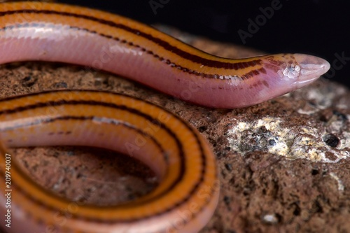 Striped Legless Skink (Acontias lineatus)