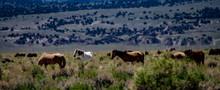 Wild Mustangs Near Dobie Meado...
