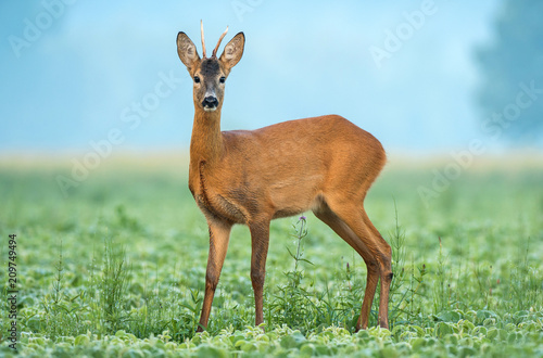 In de dag Ree Wild roe deer standing in a soy field