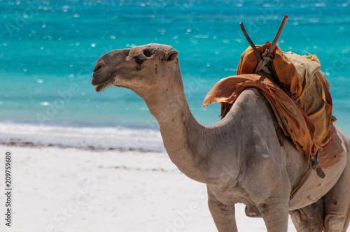 Camel on the Beach Fototapeta