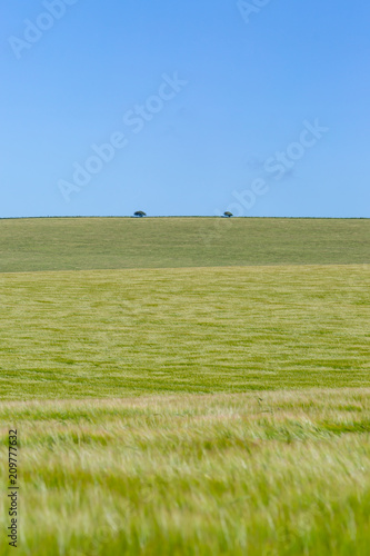 Foto op Canvas Pistache Green Sussex Summer Landscape of Crops Blowing in the Wind