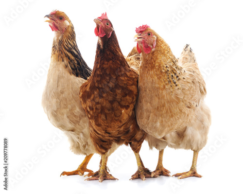 Fototapeta Three brown chicken.